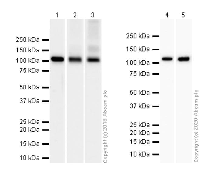 Western blot - Anti-Hexokinase 1 antibody [EPR10134(B)] - BSA and Azide free (ab233837)