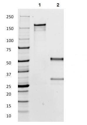 SDS-PAGE - Anti-Human IgG antibody [IG266] - BSA and Azide free (ab233885)