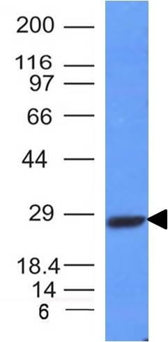 Western blot - Anti-Kappa light chain antibody [HP6053-L1C1] - BSA and Azide free (ab233889)