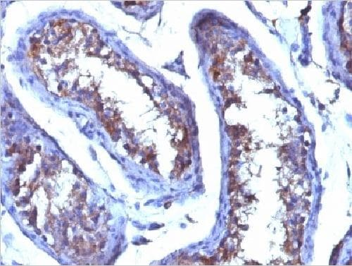 Immunohistochemistry (Formalin/PFA-fixed paraffin-embedded sections) - Anti-Testosterone antibody [4E1G2] - BSA and Azide free (ab234024)