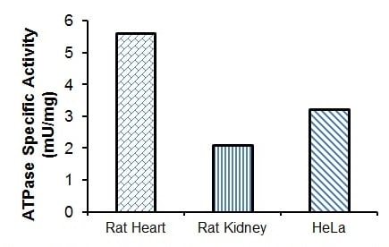 Specific ATPase Activity were calculated in lysates prepared from Rat Heart (35 µg), Rat Kidney (15 µg), and Hela Cell Lysate (5.4 µg).