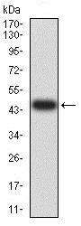 Western blot - Anti-ARD1A antibody [3G3B9] (ab234076)