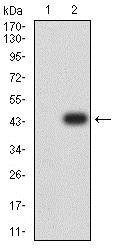 Western blot - Anti-ARHGAP42 antibody [2F1A7] (ab234078)