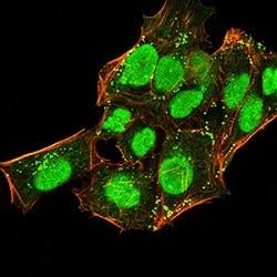 Immunocytochemistry/ Immunofluorescence - Anti-HP1 alpha antibody [3A11F8] (ab234085)