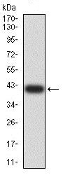 Western blot - Anti-ARFGAP1 antibody [1C4E2] (ab234087)
