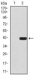 Western blot - Anti-SIRT7 antibody [1E2B2] (ab234088)