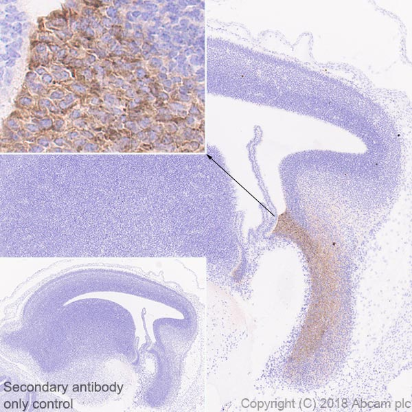 Immunohistochemistry (Formalin/PFA-fixed paraffin-embedded sections) - Anti-Wnt3a antibody [EPR21889] - BSA and Azide free (ab234099)
