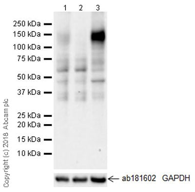 Western blot - Anti-CD130 (gp130) antibody [EPR21732] - BSA and Azide free (ab234105)