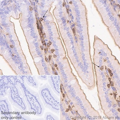 Immunohistochemistry (Formalin/PFA-fixed paraffin-embedded sections) - Anti-M-CSF antibody [EPR20948] - BSA and Azide free (ab234259)