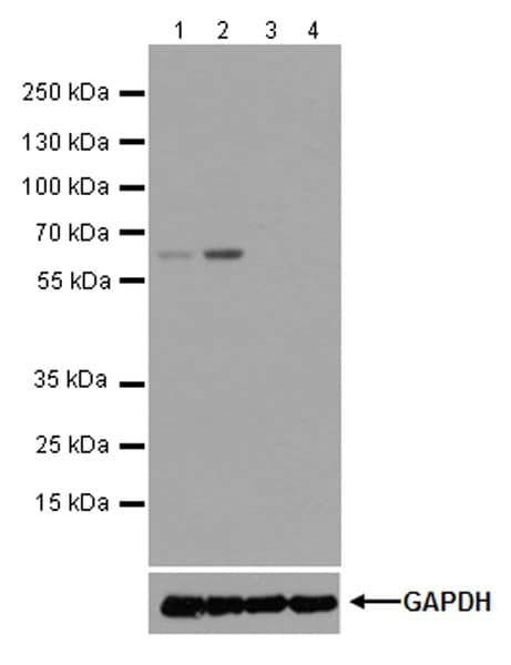 Western blot - Anti-SLFN12 antibody [EPR20904-32] (ab234418)