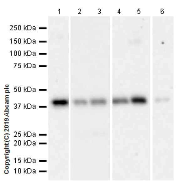 Western blot - Anti-RING2 / RING1B / RNF2 (phospho S168) antibody [EPR20902-58] (ab234421)
