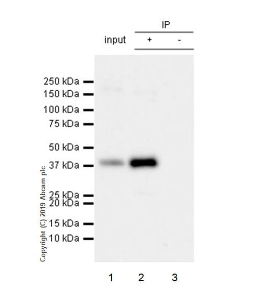 Immunoprecipitation - Anti-RING2 / RING1B / RNF2 (phospho S168) antibody [EPR20902-58] (ab234421)