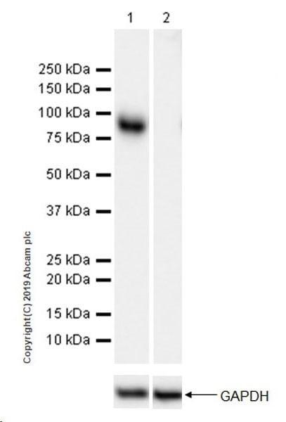 Western blot - Anti-SV40 T-antigen antibody [EPR22694-148] (ab234426)