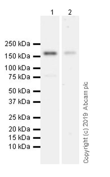 Western blot - Anti-Laminin gamma 3 antibody [EPR22699-151] (ab234429)