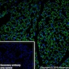 Immunohistochemistry (Frozen sections) - Anti-UCP1 antibody [EPR23004-34] (ab234430)