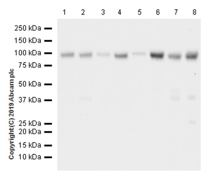 Western blot - Anti-NUP98 antibody [EPR22818-128] (ab234434)