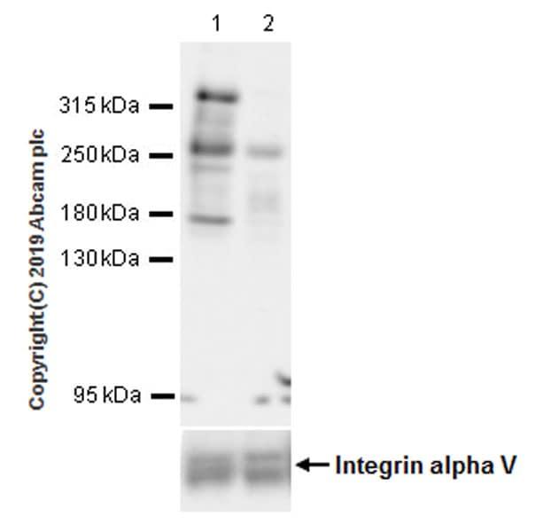 Western blot - Anti-KMT2A / MLL antibody [EPR22647-8] (ab234435)