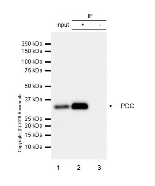 Immunoprecipitation - Anti-PHOS/PDC antibody [EPR21913] - BSA and Azide free (ab234531)