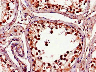 Immunohistochemistry (Formalin/PFA-fixed paraffin-embedded sections) - Anti-CTRP9B antibody (ab234641)