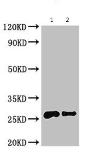 Western blot - Anti-Non-Specific Lipid-Transfer Protein antibody (ab234657)