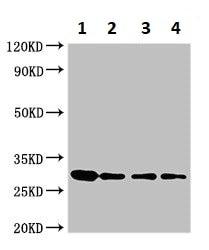 Western blot - Anti-Ribonuclease U2 antibody (ab234677)