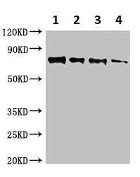 Western blot - Anti-Candidapepsin-9 antibody (ab234680)