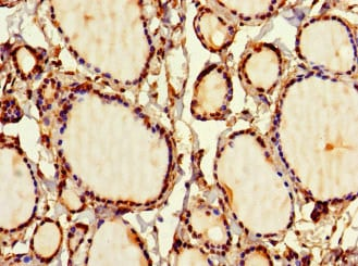 Immunohistochemistry (Formalin/PFA-fixed paraffin-embedded sections) - Anti-SIRPB1 antibody (ab234681)