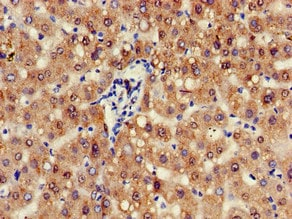 Immunohistochemistry (Formalin/PFA-fixed paraffin-embedded sections) - Anti-AWP1 antibody (ab234698)