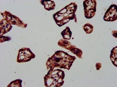 Immunohistochemistry (Formalin/PFA-fixed paraffin-embedded sections) - Anti-DNAJA1 antibody (ab234702)
