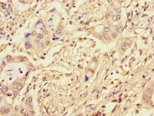 Immunohistochemistry (Formalin/PFA-fixed paraffin-embedded sections) - Anti-NCM antibody (ab234709)