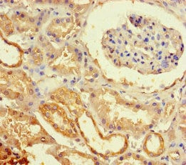 Immunohistochemistry (Formalin/PFA-fixed paraffin-embedded sections) - Anti-ECEL1 antibody (ab234710)