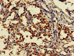 Immunohistochemistry (Formalin/PFA-fixed paraffin-embedded sections) - Anti-DDO antibody (ab234735)