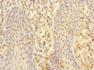 Immunohistochemistry (Formalin/PFA-fixed paraffin-embedded sections) - Anti-CHRNA10 antibody (ab234767)