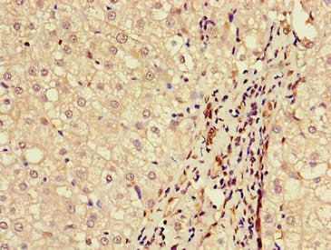 Immunohistochemistry (Formalin/PFA-fixed paraffin-embedded sections) - Anti-BAAT antibody (ab234803)