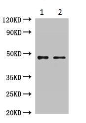 Western blot - Anti-RPL4 antibody (ab234829)
