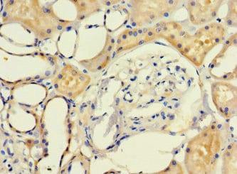 Immunohistochemistry (Formalin/PFA-fixed paraffin-embedded sections) - Anti-LRCH1 antibody (ab234875)