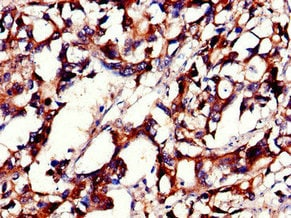 Immunohistochemistry (Formalin/PFA-fixed paraffin-embedded sections) - Anti-PHLDB2 antibody (ab234885)