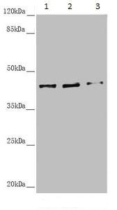 Western blot - Anti-SCRN2 antibody (ab234887)
