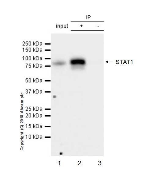 Immunoprecipitation - Anti-STAT1 antibody [EPRR21057-168] - BSA and Azide free (ab234902)