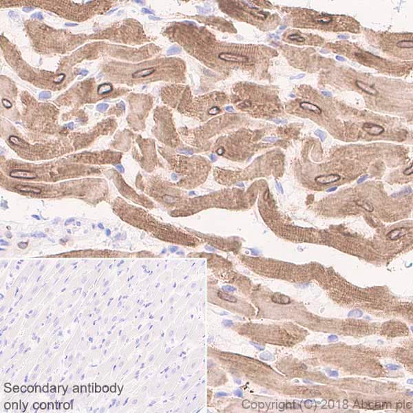 Immunohistochemistry (Formalin/PFA-fixed paraffin-embedded sections) - Anti-Phospholamban antibody [EPR21897] - BSA and Azide free (ab234903)
