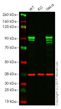 Western blot - Anti-STAT1 antibody [EPR21057-141] - BSA and Azide free (ab234904)