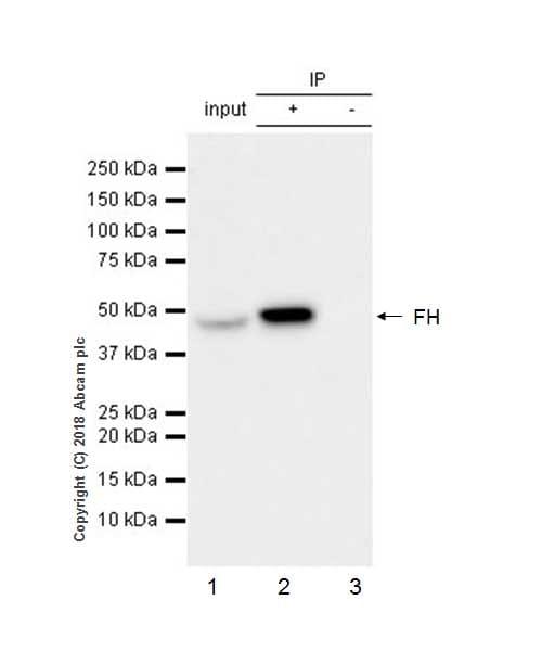 Immunoprecipitation - Anti-FH/Fumarase antibody [EPR21104] - BSA and Azide free (ab234905)