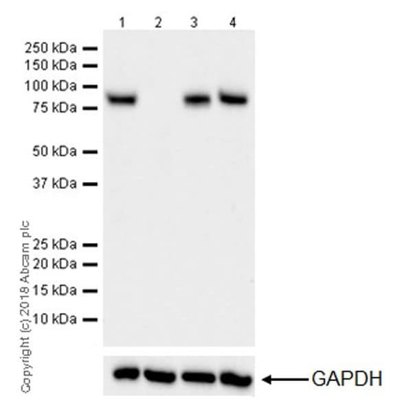 Western blot - Anti-CPT1A antibody [EPR21843-71-1C] - BSA and Azide free (ab234906)