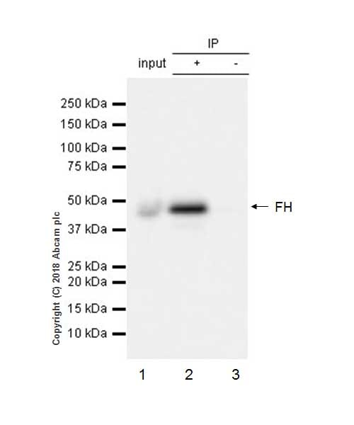 Immunoprecipitation - Anti-FH/Fumarase antibody [EPR21105] - BSA and Azide free (ab234907)