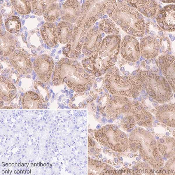 Immunohistochemistry (Formalin/PFA-fixed paraffin-embedded sections) - Anti-FH/Fumarase antibody [EPR21105] - BSA and Azide free (ab234907)