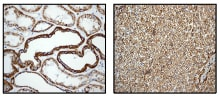 Immunohistochemistry (Formalin/PFA-fixed paraffin-embedded sections) - Anti-P2Y6 antibody [EPR3816] - BSA and Azide free (ab234912)
