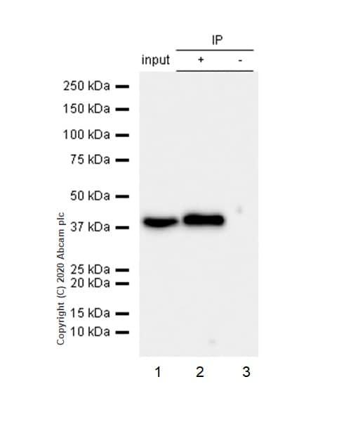 Immunoprecipitation - Anti-P2Y6 antibody [EPR3816] - BSA and Azide free (ab234912)