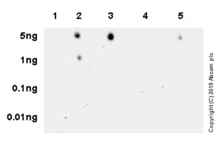 Dot Blot - Anti-DNA:RNA hybrid antibody [S9.6] (ab234957)