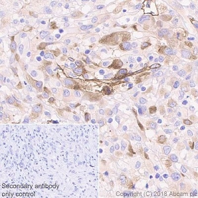 Immunohistochemistry (Formalin/PFA-fixed paraffin-embedded sections) - Anti-Laminin gamma 1 antibody [EPR21200] - BSA and Azide free (ab234959)