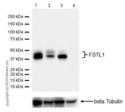 Western blot - Anti-FSTL1/FRP antibody [EPR21933-155] - BSA and Azide free (ab234961)